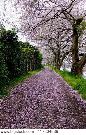 The Walkway Full Blooming Sakura Falling Down On Nature Road In A Park With Green Trees Along Rivers