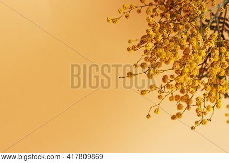 Mimosa Branch On Yellow Background With Copy Space, Spring Greeting Card