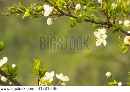Soft Focus Spring Floral Border Of Green Leaves And White Flowers With Copy Space