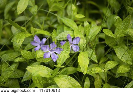 Closeup Nature View Of Green Leaves Of Periwinkle And Blue Flowers With Raindrops In The Garden