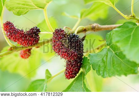 Fresh Organic Mulberries Green, Yellow, Red Unripe And Black Ripe Berry On Fruit Tree Mulberries Bra