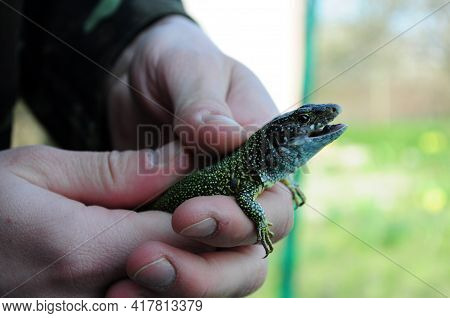 European Green Lizard Lacerta Viridis Caught In Human Hands. Head Of Lizard With Open Mouth And Brow