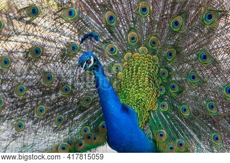 Beautiful Colorful Peacock Bird. The Peacock Has An Outstretched Tail. There Are Colored Eyes On The