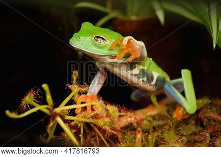 Red Eye Frog Desire To Touch The Dangerous  Carnivorous Plant