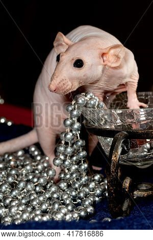 Rich Hairless Rat Enjoying Wealth. Her Eyes Are Shining Around A Lot Of Silver Beads And Luxury Vase