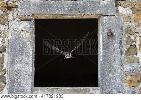 Barn Swallow (hirundo Rustica) Bird Flying Through Stone Window From Nesting Site Inside Old Buildin