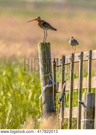 Black-tailed Godwit (limosa Limosa) And Common Redshank (tringa Totanus) Wader Bird Breeding Habitat