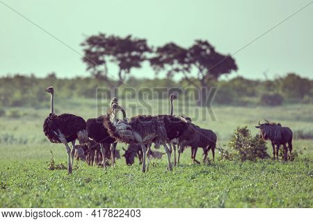 South African Ostrich (struthio Camelus Australis) Herd At Sunset On Green Savanna In Mooiplaas Rive
