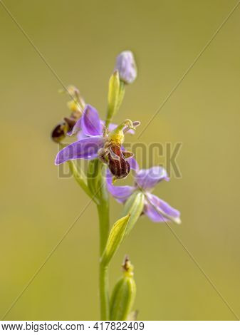 Close Up Bee Orchid (ophrys Apifera) Pink Flowers Mimicing Humblebee Insects To Polinate The Flower.