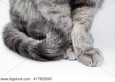 Close Up Of The Body Of A Gray Furry Tabby Cat - Paws With Claws And Tail On A White Background.