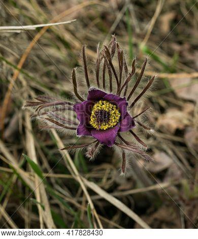 Sleep-grass. Flowers Wind-flower Pulsatilla Patens. First Spring April Blue Sleep-grass Flowers