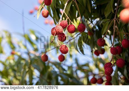 Fresh Lychee On The Tree. Lychee Trees Covered With Ripe Lychees. Ripe Lychee Fruits On Tree In The
