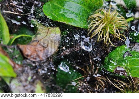 Cobweb Withcobweb With Water Droplets And On The Plant. Nature Screensaver Water Droplets And On The