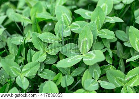 Green Leaves Of Meadow Clover. Background Texture Clover. Clover Grows In A Spring Meadow.