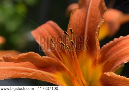 Bright Orange Lily Flowers In The Sunny Garden, Soft Selective Focus. Full Blooming Of Deep Orange A