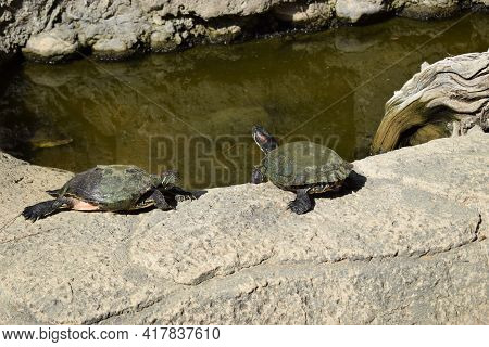 Turtles Taking A Sunbath On Rock Near Pond. Group Turtles In The Sun On Pond. Aquatic Turtles Restin