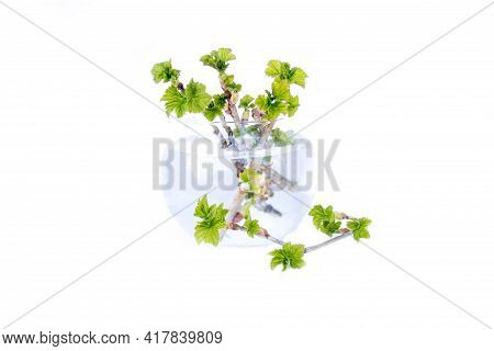 Spring Tree Branch In A Vase. Young Green Leaves On A Currant Branch. Spring Concept, Branch With Yo