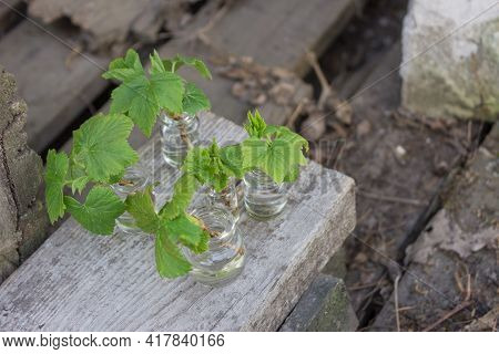 Spring Branch In A Vase. Young Green Leaves On A Currant Branch. Branch With Young Leaves, Young Sho
