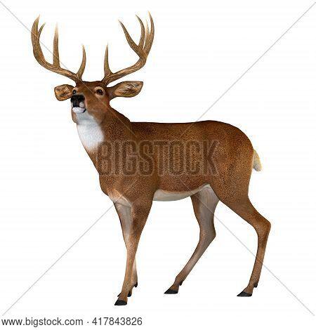 Whitetail Buck Walking 3d Illustration - The Whitetail Deer Is A Herbivorous Ruminant Mammal That Li