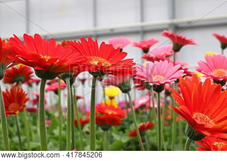 Side View Of Multiple Colorful Gerbera's Flowering.