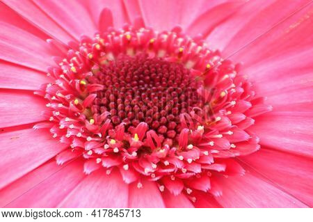 Macro Of A Pink Gerbera At The Center Of The Photo.