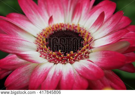 A Pink And White Gerbera Daisy At The Center Of The Photo.