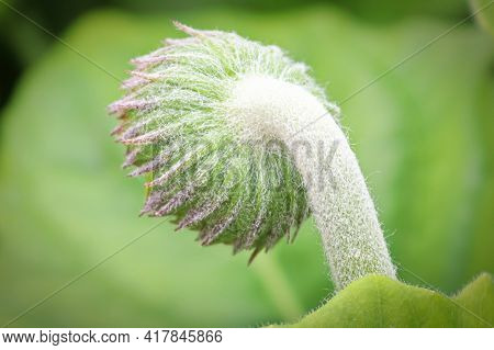 Macro Of The Back View Of The Hairy Gerbera Bud.