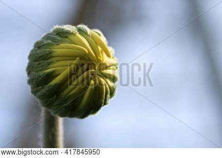 Macro View Of A Gerbera Bud With Yellow Petals.