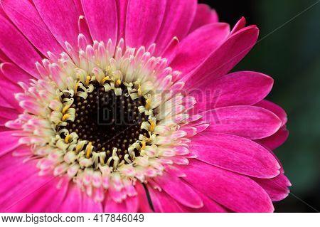 Macro Of A Pink Gerbera Daisy Flower Center.