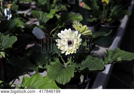 White Gerbera Growing In Pots On A Table.