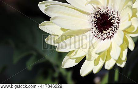 Closeup Fo A White Gerbera Daisy Flower.