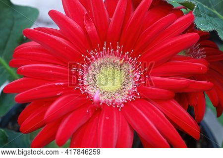 Closeup Of A Red, White And Yellow Gerbera.