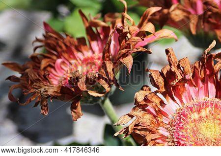 Closeup Of Drying Pink Gerbera Flower Heads.