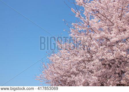 Flowers Sakura Flowering On Spring Sakura Tree And The Background Is The Sky, Nature