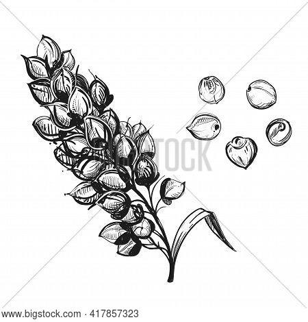 Hand Drawn Sketch Black And White Sorgo Ear, Grain, Seeds, Leaf. Vector Illustration. Elements In Gr