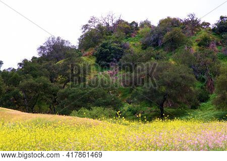 Rural Hillside Covered With Oak Trees Besides A Meadow With Spring Wildflowers Taken On A Plateau At
