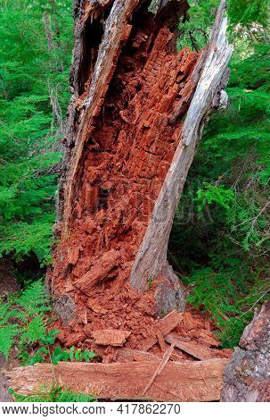 Rotting Remains - A Dead Hemlock Tree In A Grove In The Forest West Of Clear Lake - Cascade Range -