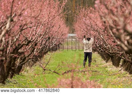 Seasonal Spring Work In The Peach Orchard. The Gardener Cuts Off The Branches Of A Flowering Peach.