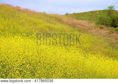 Rural Hillside Covered With Mustard Plant Flower Blossoms During Spring Taken At A Lush Prairie In T