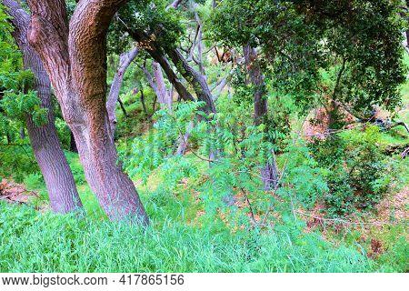 Lush Plants Besides Oak Trees Taken At An Oak Woodland In The Rural Puente Hills, Ca