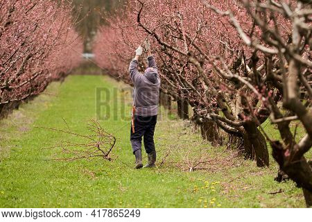 Seasonal Spring Work In The Peach Orchard. An Elderly Woman Gardener Cuts Off The Branches Of A Flow