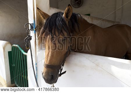Young Horse Standing In The Stable. Purebred Youngster Looking Out From The Barn. Mare Behind Brown