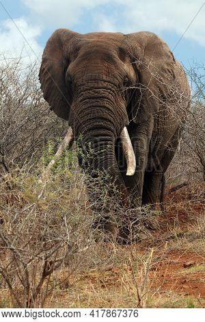 The African Bush Elephant (loxodonta Africana), Very Big Bull. A Huge Elephant, With Large Tusks, St