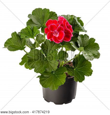 Pelargonium Plant With Red Flower In Flower Pot Isolated On White Background