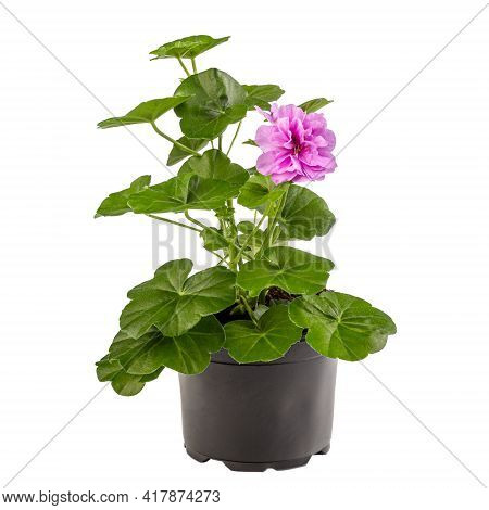 Potted Pink Pelargonium In Flower Pot On White Background
