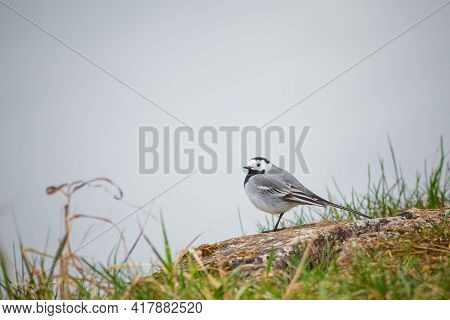 Bird White Wagtail, Motacilla Alba, Picture Of White Wagtail