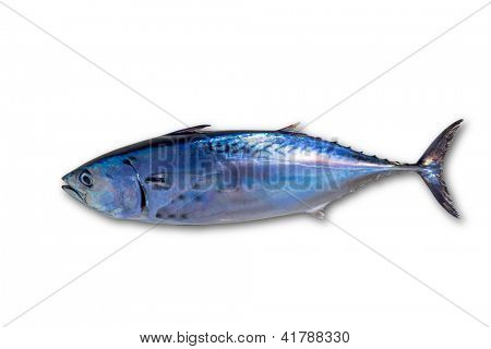 Little tunny tuna fish Euthynnus affinis isolated on white