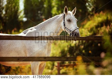 A Beautiful White Horse Grazes In A Paddock Behind A Wooden Fence Among Green Foliage And Grass On A
