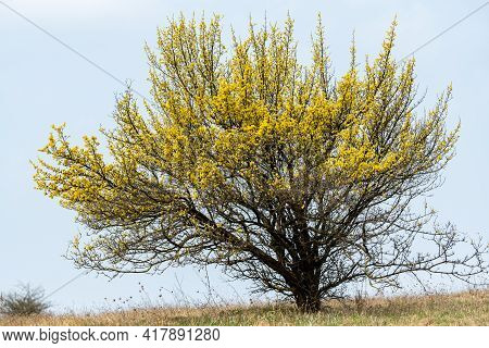A Flowering Cornelian Cherry Dogwood (cornus Mas) On A Cloudy Day In Springtime