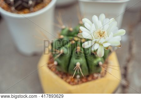 Close Up Beautiful Cactus In The Small Flower Pot.